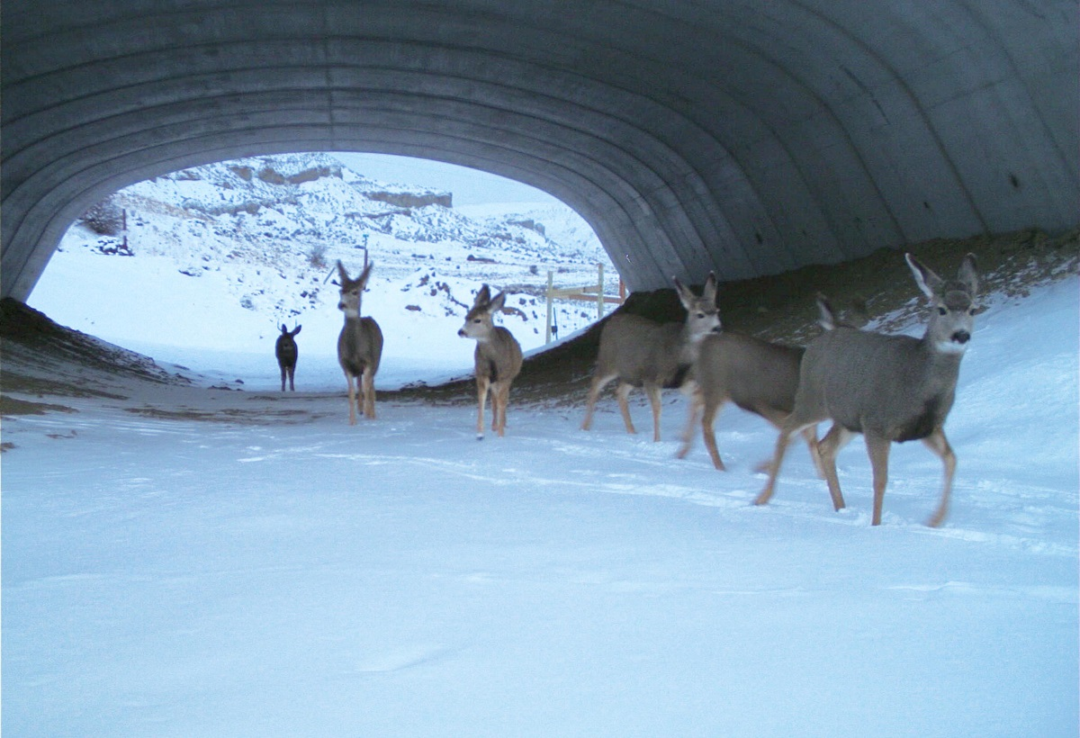 Herd of deer crossing the highway using an underpass structure detail image