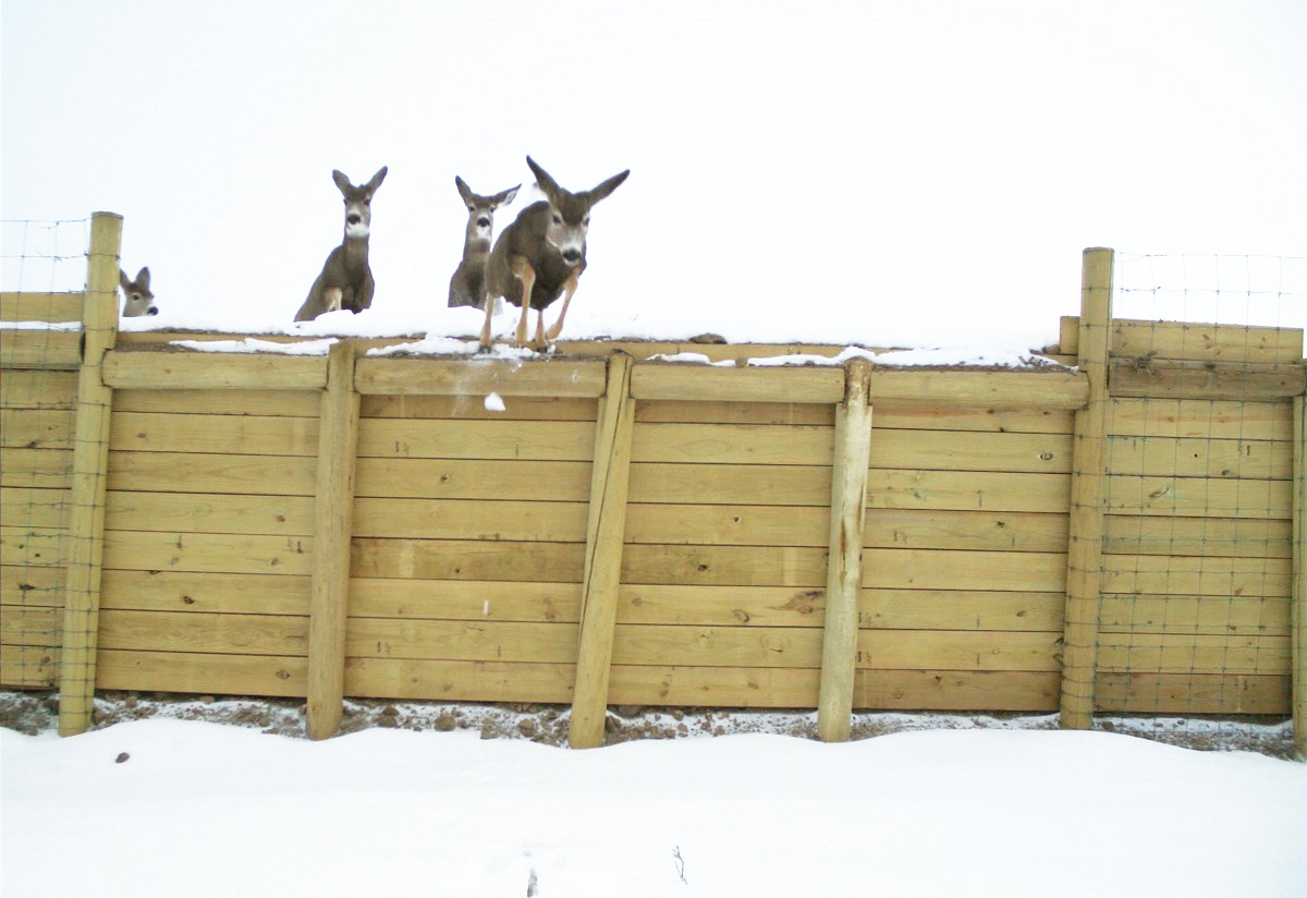 Deer jump over the fencing ramps to safely migrate to open land detail image