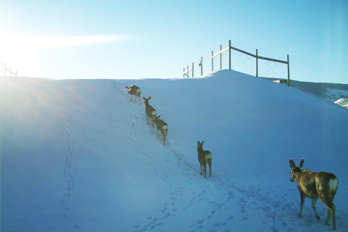 In the early morning, deer approach the slope of the overpass built during phase one of the project to safely cross the highway detail image